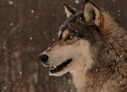 wolf3761-montana-copyright-photographers-on-safari-com