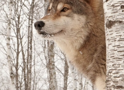 wolf3762-montana-copyright-photographers-on-safari-com