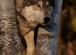 wolf3763-montana-copyright-photographers-on-safari-com