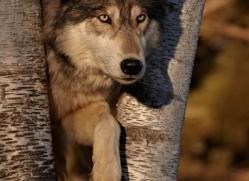 wolf3764-montana-copyright-photographers-on-safari-com