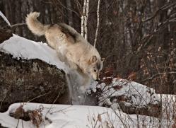 wolf3765-montana-copyright-photographers-on-safari-com