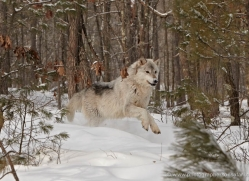 wolf3766-montana-copyright-photographers-on-safari-com