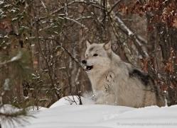 wolf3767-montana-copyright-photographers-on-safari-com