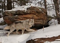 wolf3769-montana-copyright-photographers-on-safari-com