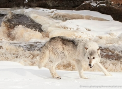 wolf3770-montana-copyright-photographers-on-safari-com