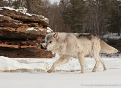 wolf3771-montana-copyright-photographers-on-safari-com