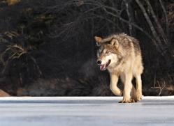 wolf3774-montana-copyright-photographers-on-safari-com