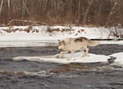 wolf3775-montana-copyright-photographers-on-safari-com
