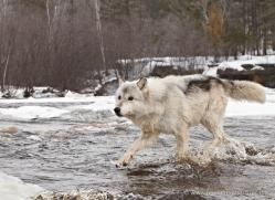 wolf3776-montana-copyright-photographers-on-safari-com