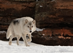 wolf3778-montana-copyright-photographers-on-safari-com