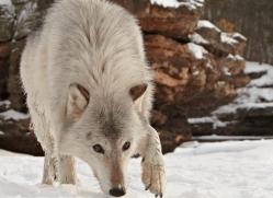 wolf3779-montana-copyright-photographers-on-safari-com