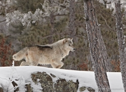 wolf3780-montana-copyright-photographers-on-safari-com