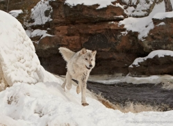 wolf3781-montana-copyright-photographers-on-safari-com