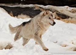 wolf3782-montana-copyright-photographers-on-safari-com
