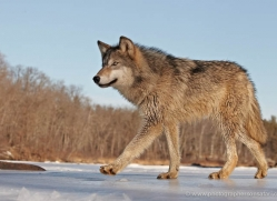 wolf3783-montana-copyright-photographers-on-safari-com