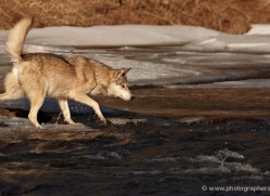 wolf3784-montana-copyright-photographers-on-safari-com