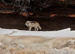 wolf3785-montana-copyright-photographers-on-safari-com