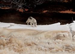 wolf3786-montana-copyright-photographers-on-safari-com