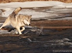 wolf3787-montana-copyright-photographers-on-safari-com
