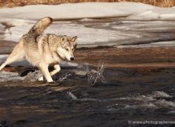 wolf3787-montana-copyright-photographers-on-safari-com
