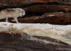 wolf3788-montana-copyright-photographers-on-safari-com