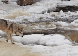 wolf3791-montana-copyright-photographers-on-safari-com