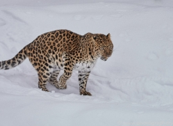 amur-leopard-copyright-photographers-on-safari-com-7438