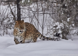 amur-leopard-copyright-photographers-on-safari-com-7439