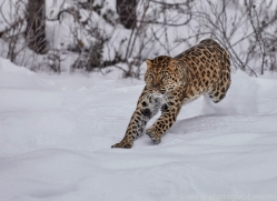 amur-leopard-copyright-photographers-on-safari-com-7441