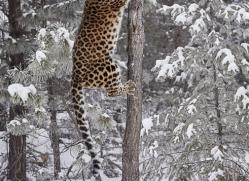 amur-leopard-copyright-photographers-on-safari-com-7443