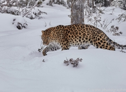 amur-leopard-copyright-photographers-on-safari-com-7446