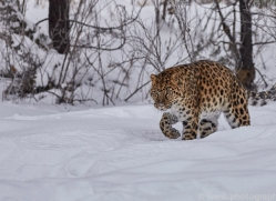amur-leopard-copyright-photographers-on-safari-com-7448