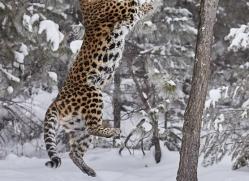 amur-leopard-copyright-photographers-on-safari-com-7450