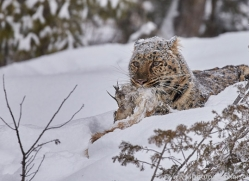 amur-leopard-copyright-photographers-on-safari-com-7451