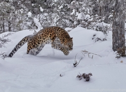 amur-leopard-copyright-photographers-on-safari-com-7454