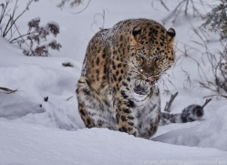 amur-leopard-copyright-photographers-on-safari-com-7456