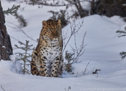 amur-leopard-copyright-photographers-on-safari-com-7457