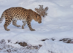 amur-leopard-copyright-photographers-on-safari-com-7458