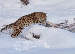 amur-leopard-copyright-photographers-on-safari-com-7463