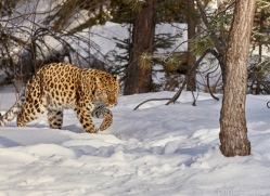 amur-leopard-copyright-photographers-on-safari-com-7464