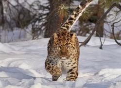 amur-leopard-copyright-photographers-on-safari-com-7465