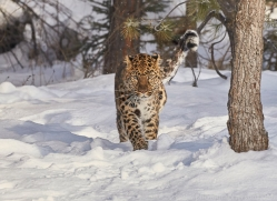 amur-leopard-copyright-photographers-on-safari-com-7466