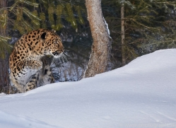 amur-leopard-copyright-photographers-on-safari-com-7467