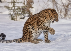 amur-leopard-copyright-photographers-on-safari-com-7468