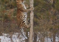 amur-leopard-copyright-photographers-on-safari-com-7470