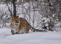 amur-leopard-copyright-photographers-on-safari-com-7439