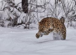 amur-leopard-copyright-photographers-on-safari-com-7440