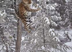 amur-leopard-copyright-photographers-on-safari-com-7442