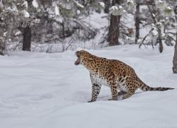 amur-leopard-copyright-photographers-on-safari-com-7444
