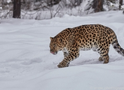 amur-leopard-copyright-photographers-on-safari-com-7445